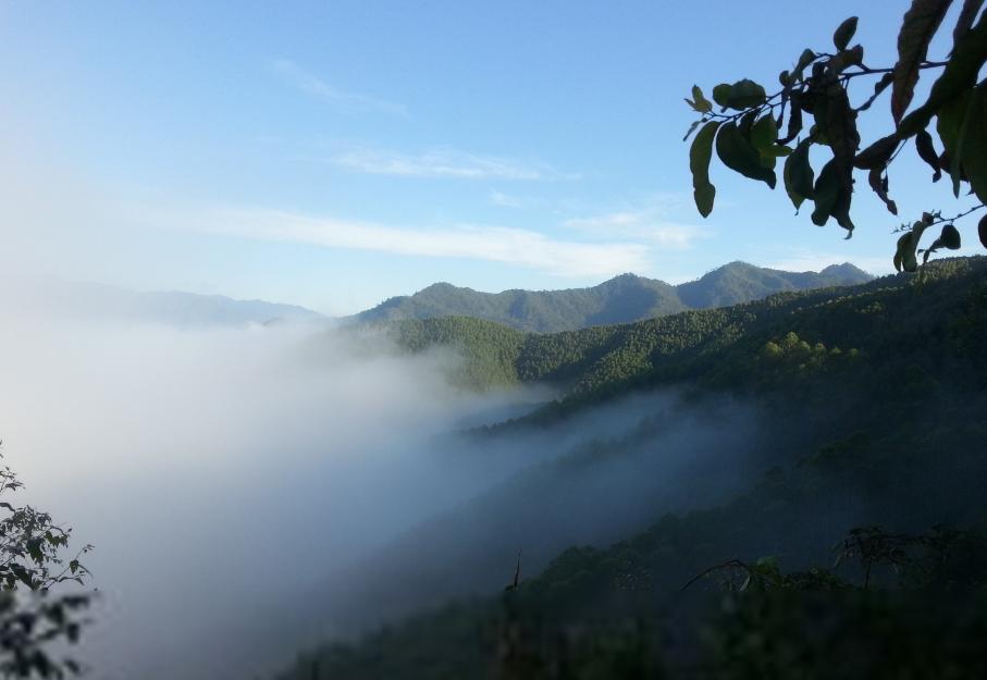 景谷乡文东村大中山,有野生茶林500亩,益智乡大田村大绿山,有野生茶林